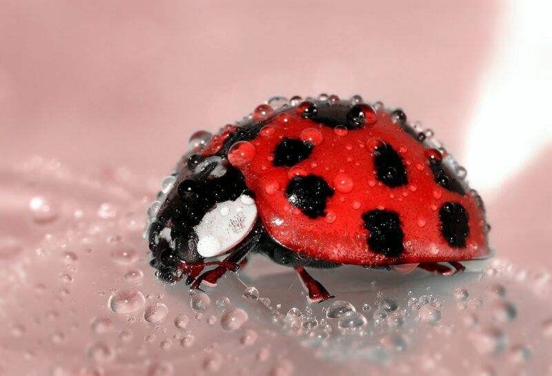 ladybug beetle insect lucky charm e1581331559300 - Which is important? Fixing Bugs or Adding Features
